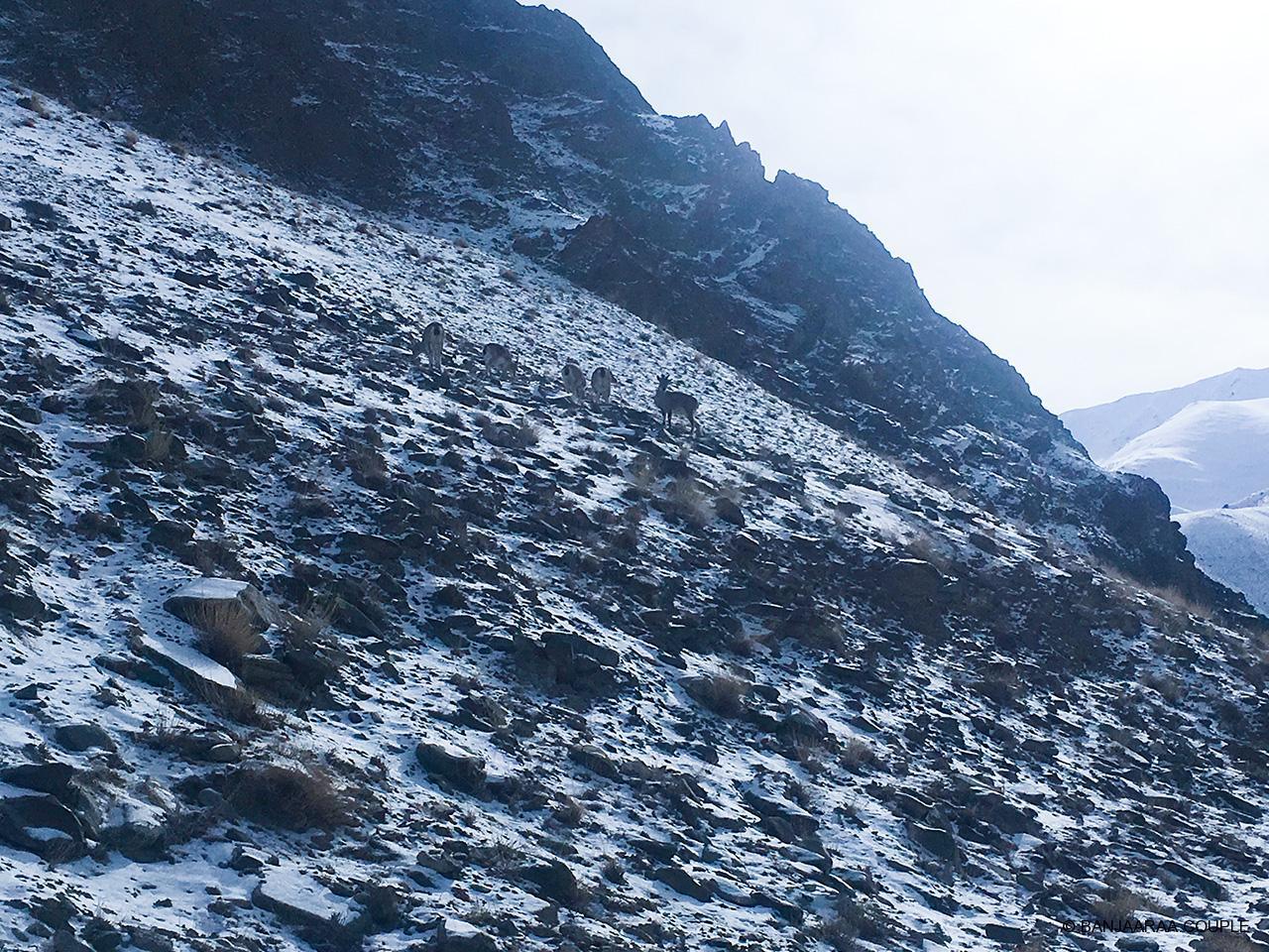 Herd of Blue sheep in Hemis National Park