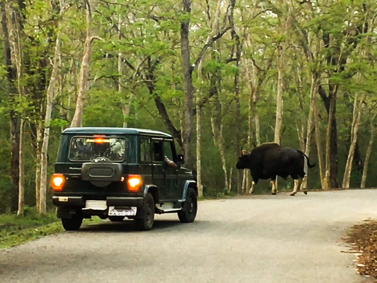 Bison walking past a Jeep in Kabini Jungles